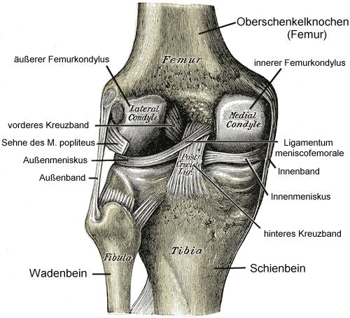 Abb. 15: Linkes Kniegelenk mit Bandapparat und Menisken (Ansicht von hinten, schematisch)
