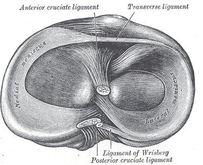 Abb. 16: Rechtes Schienbein mit den Menisken (Ansicht von oben, schematisch)